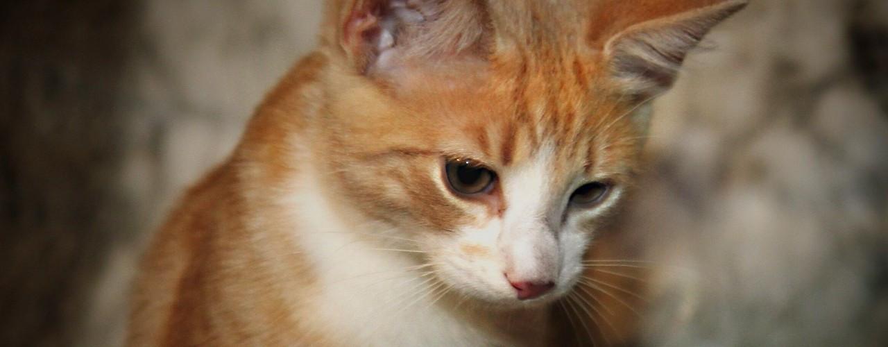 mitä tauteja kissa levittää